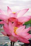 Milagre cor-de-rosa Imagens de Stock Royalty Free