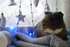 Milagros de la Navidad del conejillo de Indias que esperan para foto de archivo libre de regalías
