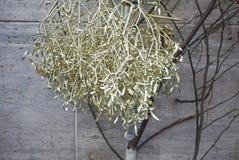 Golden painted mistletoe. Milan, Italy - December 17, 2017 : golden mistletoe for christmas Royalty Free Stock Photography