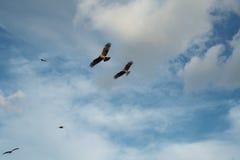 Milans noirs volants Photos libres de droits