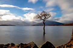Milarrochy bay, loch lomond. Lone tree in loch Lomond national park Scotland Royalty Free Stock Photo