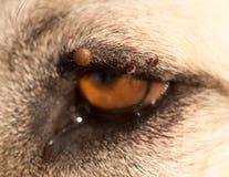 Milben auf dem Auge eines Hundes Stockbild