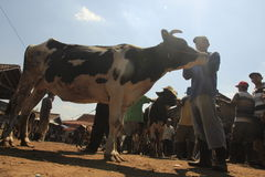 Milch cow. Dairy cattle markets sunggingan, boyolali, central java Royalty Free Stock Photos