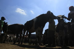 Milch cow. Dairy cattle markets sunggingan, boyolali, central java, indonesia Stock Image