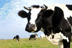 Milch cow on green grass pasture. Black and white milch cow on green grass pasture over blue sky royalty free stock photography