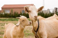 Milch goat. In a farm of chinese vallage Royalty Free Stock Photography