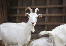Milch goat in the barn Stock Images
