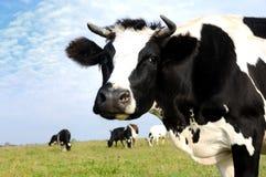 Milch Kuh auf Weide des grünen Grases Lizenzfreie Stockfotografie