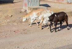 Milchabsonderungsziegen, die hinunter die Straßen von Addis Ababa, Ethiopi gehen Lizenzfreies Stockfoto