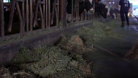 Milchbauer, der modernen Stall mit hölzernem Besen säubert, während Kühe isst stock footage