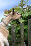 Milchige Ziege zerfressen Blätter Lizenzfreies Stockfoto