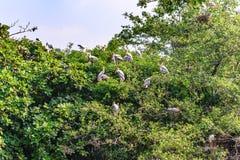 Milchiger Storch, Vögel, die auf Baum nachdem dem Regnen stillstehen lizenzfreies stockbild