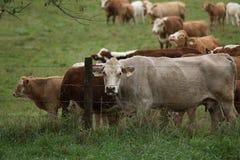 Milchkühe Lizenzfreies Stockbild