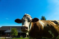 Milchkühe auf Sommerweide Lizenzfreies Stockbild