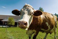 Milchkühe auf Sommerweide Stockbilder