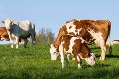 Milchkühe, calwes und Stiere in der Weide Lizenzfreies Stockfoto