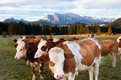 Milchkühe in den bayerischen Alpen Stockbild