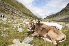 Milchkühe, die auf einer Alpe in den österreichischen Bergen liegen Lizenzfreie Stockbilder