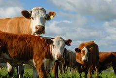 Milchkühe in einer Herde Stockbild