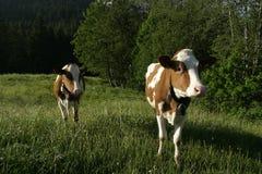 Milchkühe nähern sich Gruyere, der Schweiz Stockfotografie
