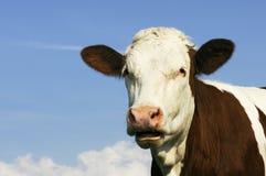 Milchkühe in der Weide Lizenzfreies Stockfoto