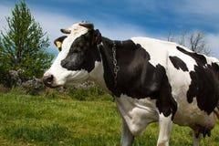 Milchkuh auf einer Sommerweide Stockfotografie