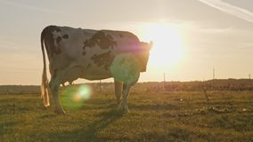 Milchkuh an der Landschaft, schöner Sonnenuntergang im Hintergrund stock video footage