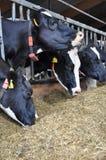 Milchkuh, die zur Landwirtpfeife hört stockbild