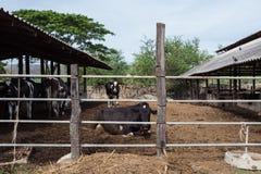 Milchkuh im Bauernhof Lizenzfreies Stockbild