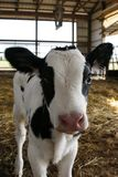 Milchkuh im Stall Stockbild