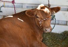 Milchkuh im Stall an der Messe Stockfotos
