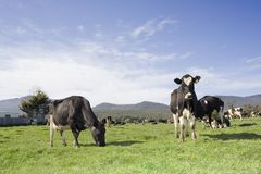 Milchkuh-Weiden lizenzfreies stockfoto