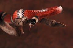 Milchschlange und seine Zunge stockfotos