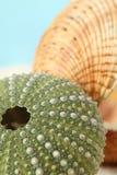 milczka zielonego morza skorupy czesak Zdjęcia Royalty Free