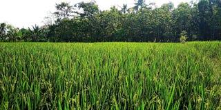 Mild bloeiende rijst stock afbeeldingen