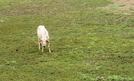 Mild cow are seeking grass Royalty Free Stock Image
