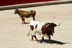 Milde und unhöfliche Färse in einer Stierkampfarena. Lizenzfreie Stockfotos