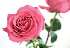 Mildern Sie Rosarosenblume auf dem grünen Stamm, der auf weißer Hintergrundnahaufnahmeansicht lokalisiert wird Lizenzfreie Stockfotografie