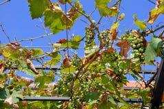 mildew виноградин downey Стоковое фото RF