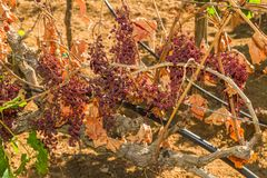Free Mildew Parasite Infected Vines And Grapes Stock Photography - 50940552