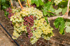 Mildew parasite infected vines and grapes. Royalty Free Stock Photo