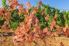 Mildew parasite infected vines and grapes Stock Images
