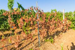 Mildew parasite infected vines and grapes. Wine grapes infected with the vines parasite mildew, a vines disease which causes the grapes and the plant to Stock Photography