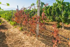 Mildew parasite infected vines and grapes Royalty Free Stock Images