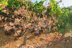 Mildew parasite infected vines and grapes Royalty Free Stock Photography