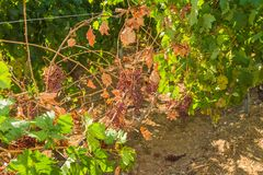 Mildew parasite infected vines and grapes Royalty Free Stock Photos