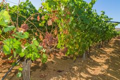 Mildew parasite infected vines and grapes Stock Photos