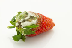 Mildew strawberry. Single mildew rotten strawberry isolated on white background Royalty Free Stock Photos