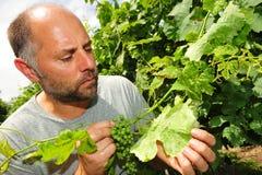 Mildew on vine leaf Stock Photo