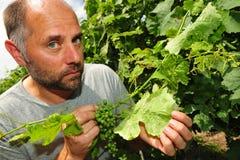 Mildew on vine leaf Royalty Free Stock Image